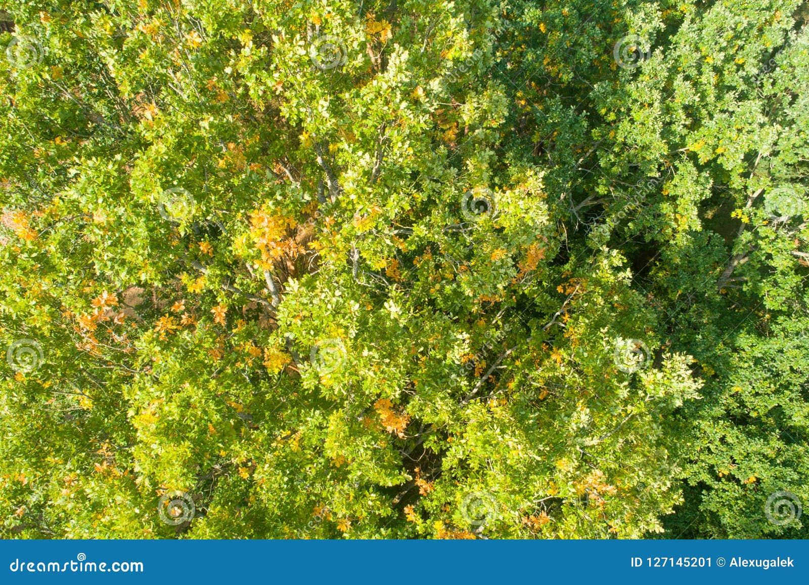 Folhas verdes do carvalho