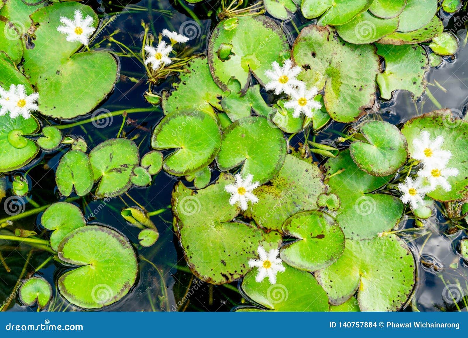 Folhas verdes dos lótus e flores brancas minúsculas em uma lagoa
