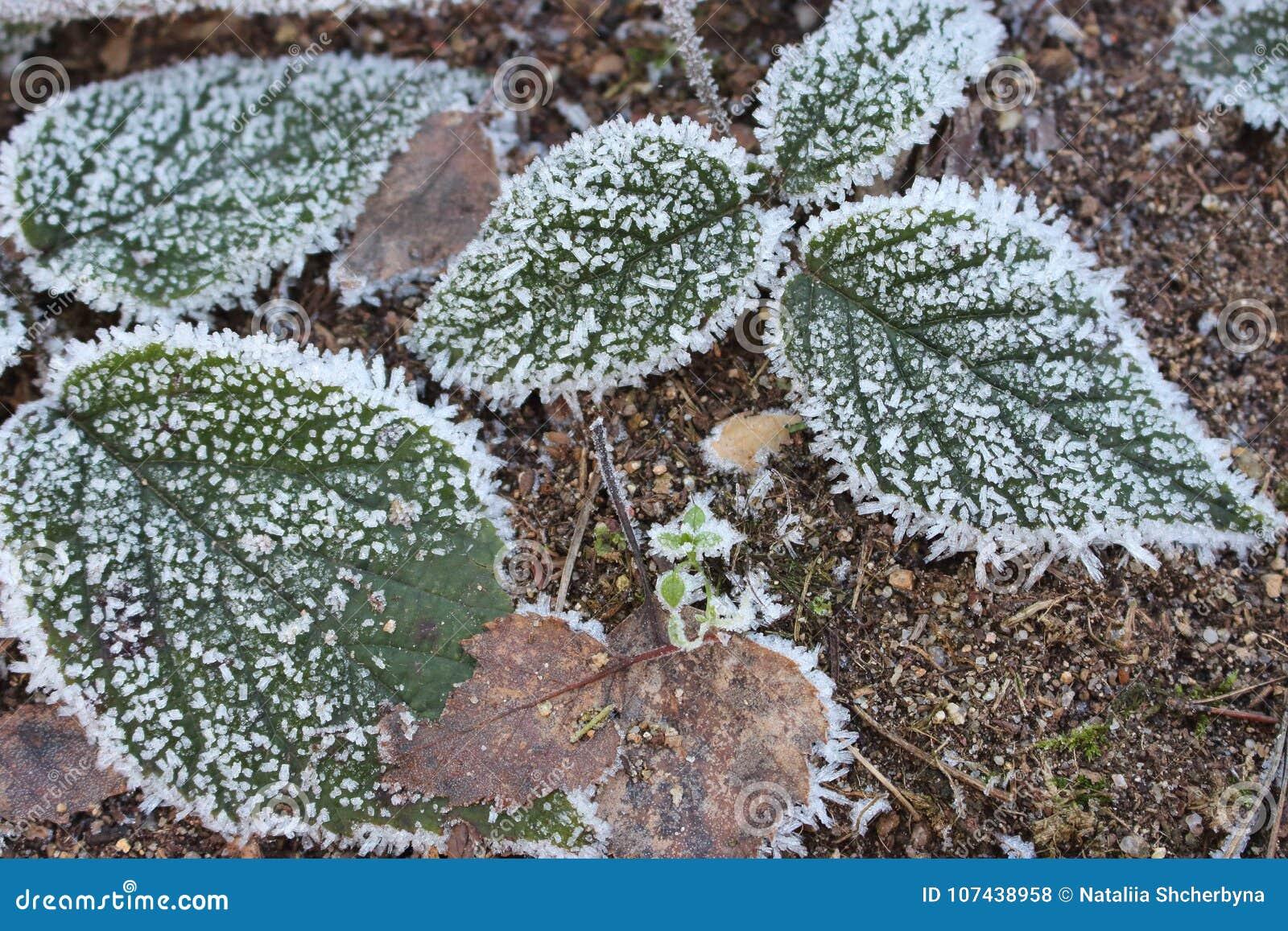 Folhas verdes e marrons na geada na terra fria A floresta do inverno congelada planta o close up