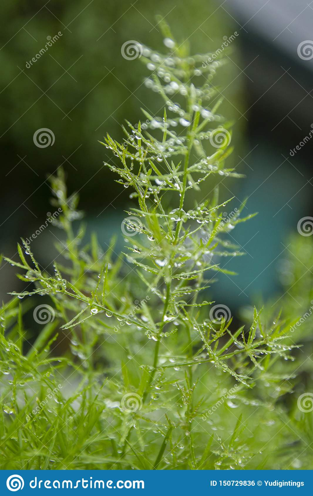 Folhas verdes frescas com gotas de orvalho