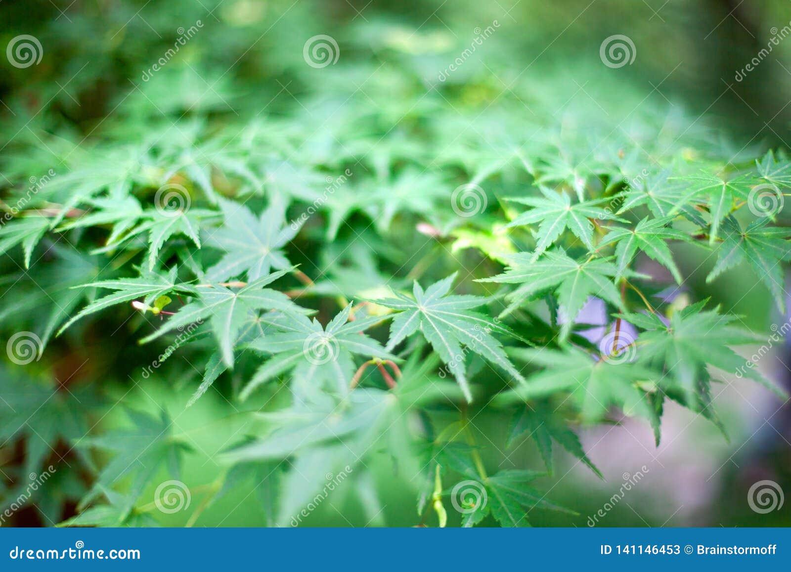 Folhas verdes frescas do arbusto da marijuana da grama no macro borrado texturas do bokeh do fundo do jardim ou do campo