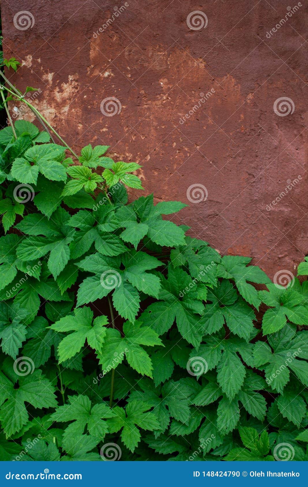 Folhas verdes na perspectiva da parede velha
