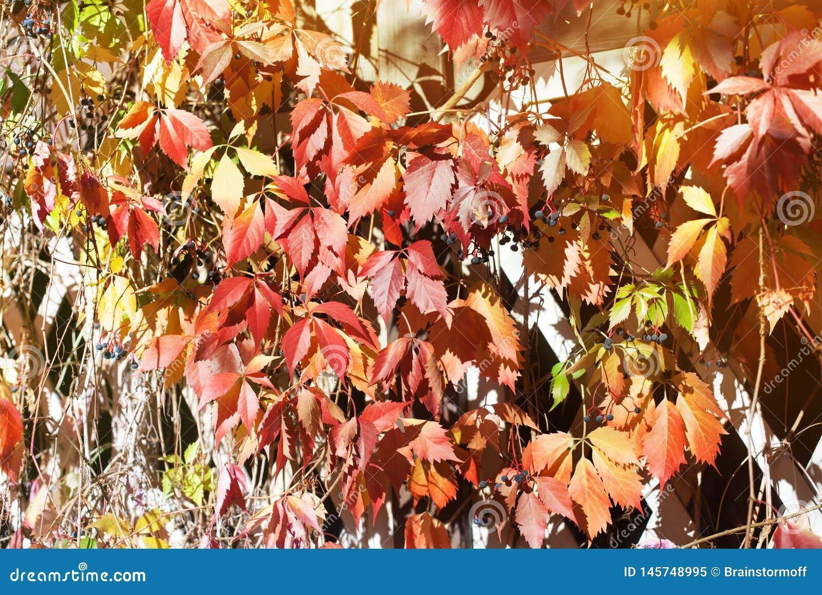 Folhas vermelhas e alaranjadas brilhantes da uva na cerca de madeira branca da grade da estrutura, fundo dourado da folha do outo