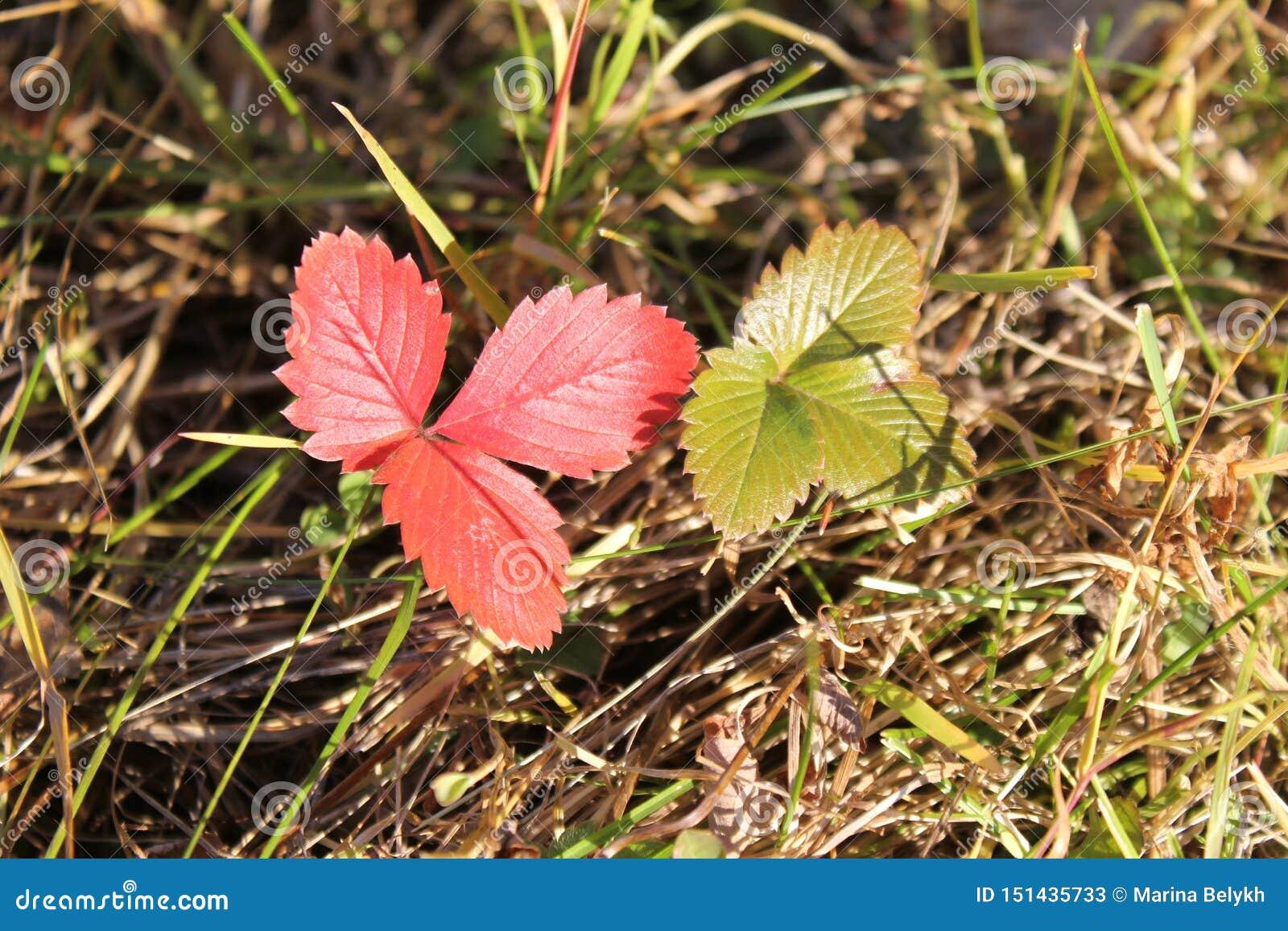 Folhas vermelhas e verdes dos morangos silvestres na grama do outono
