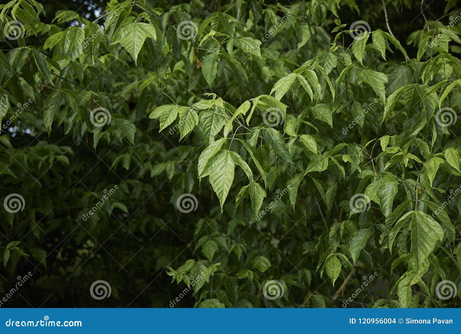 Leaves Of Acer Negundo Tree Stock Photo Image Of Plant Spring