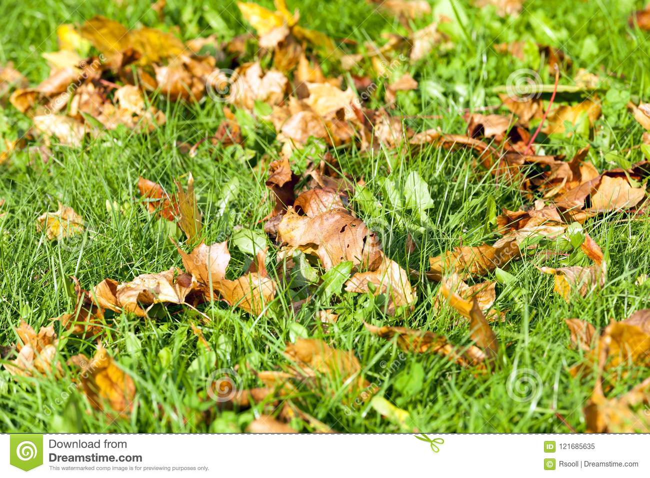 Foliage of maple stock image. Image of accurate, colors - 121685635