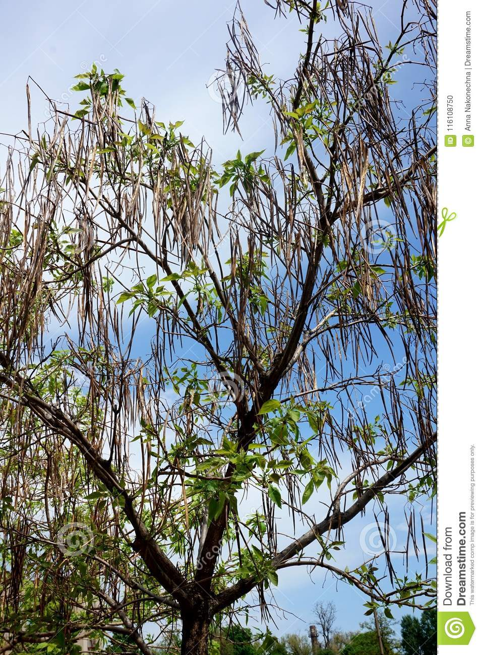 Foliage and tree crown `catalpa` against the blue sky.