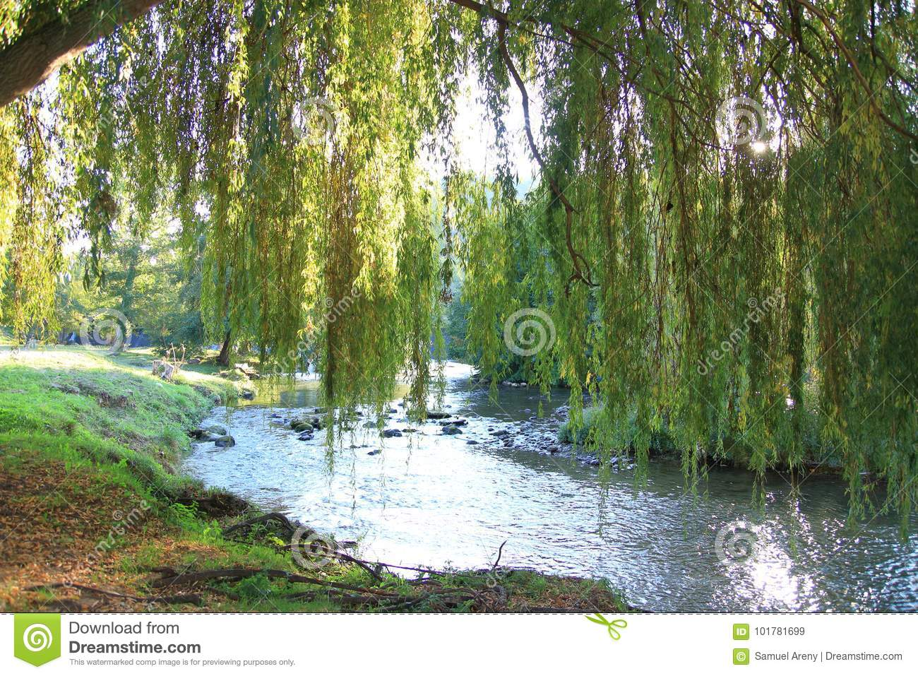 Foliage of weeping willow with Aude river in background