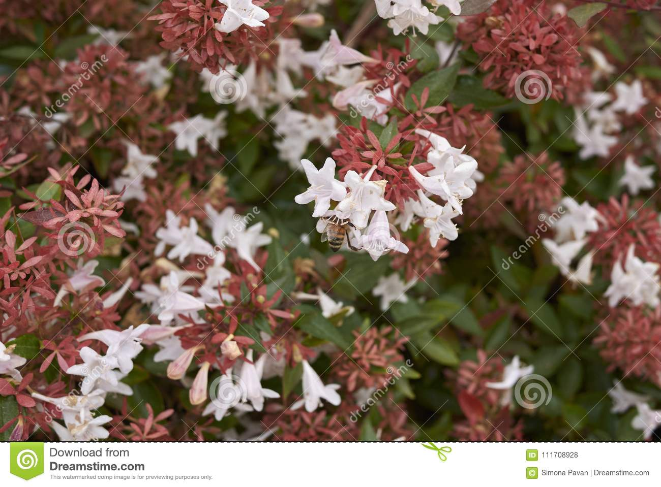 Abelia Shrub Inflorescence Stock Photo Image Of Bush 111708928