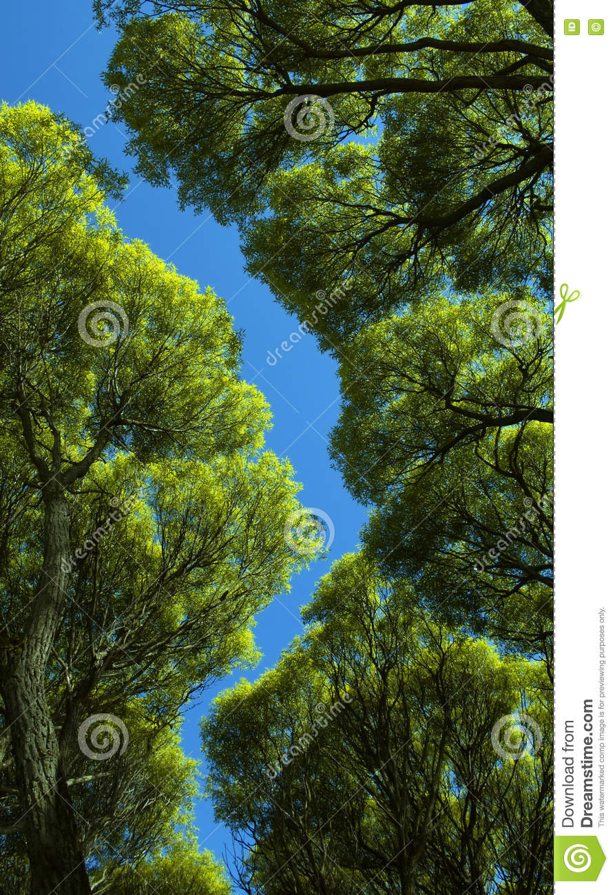 The foliage of willow trees from below against the blue sky