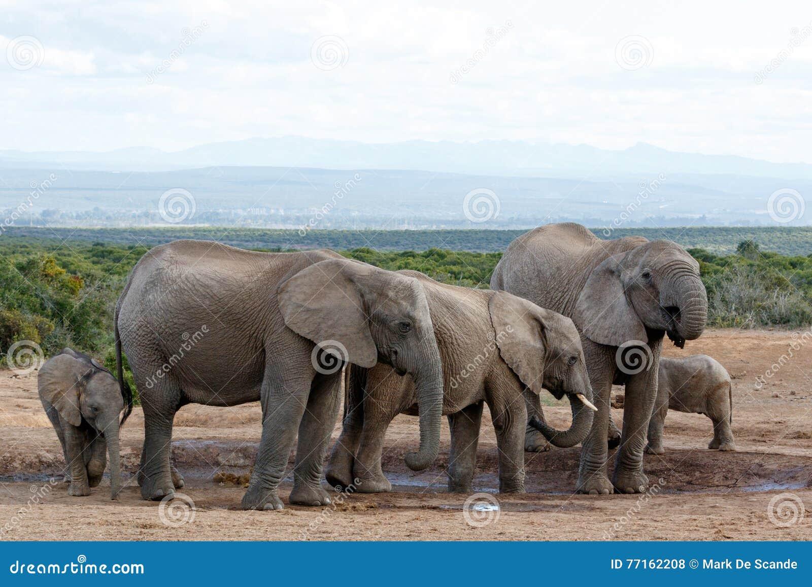 Folie d abreuvoir par l éléphant africain Familie de Bush