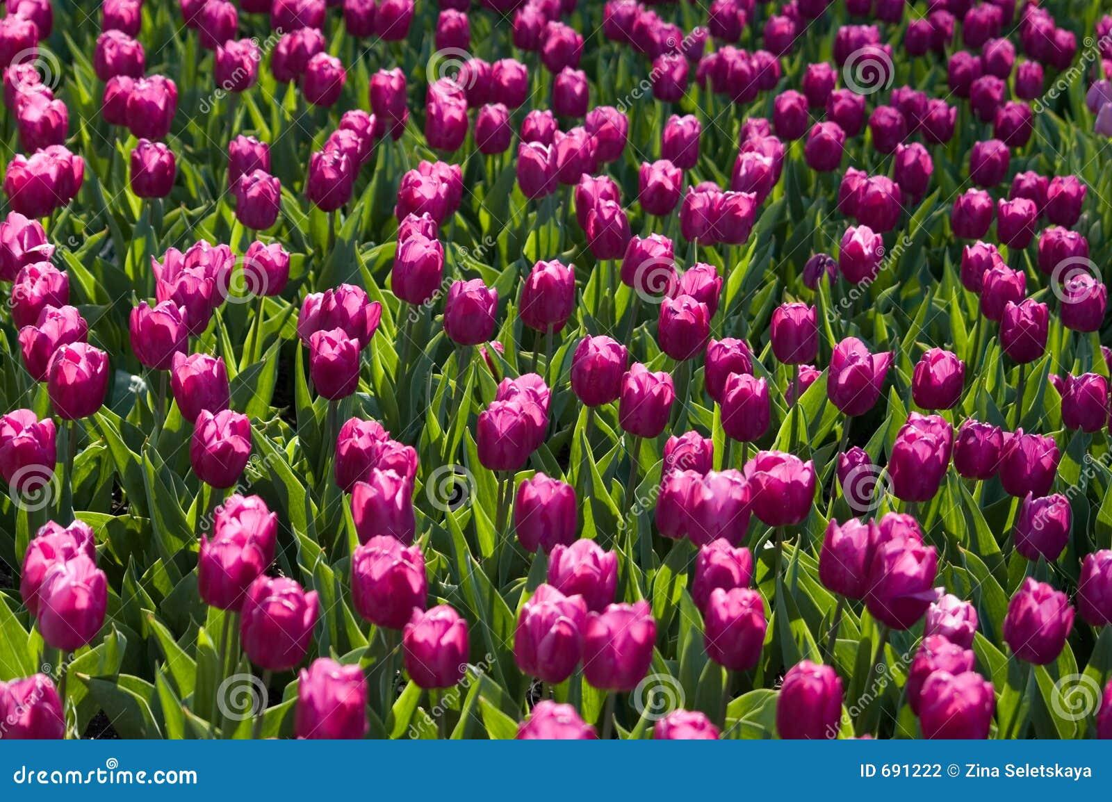 Folie de tulipe