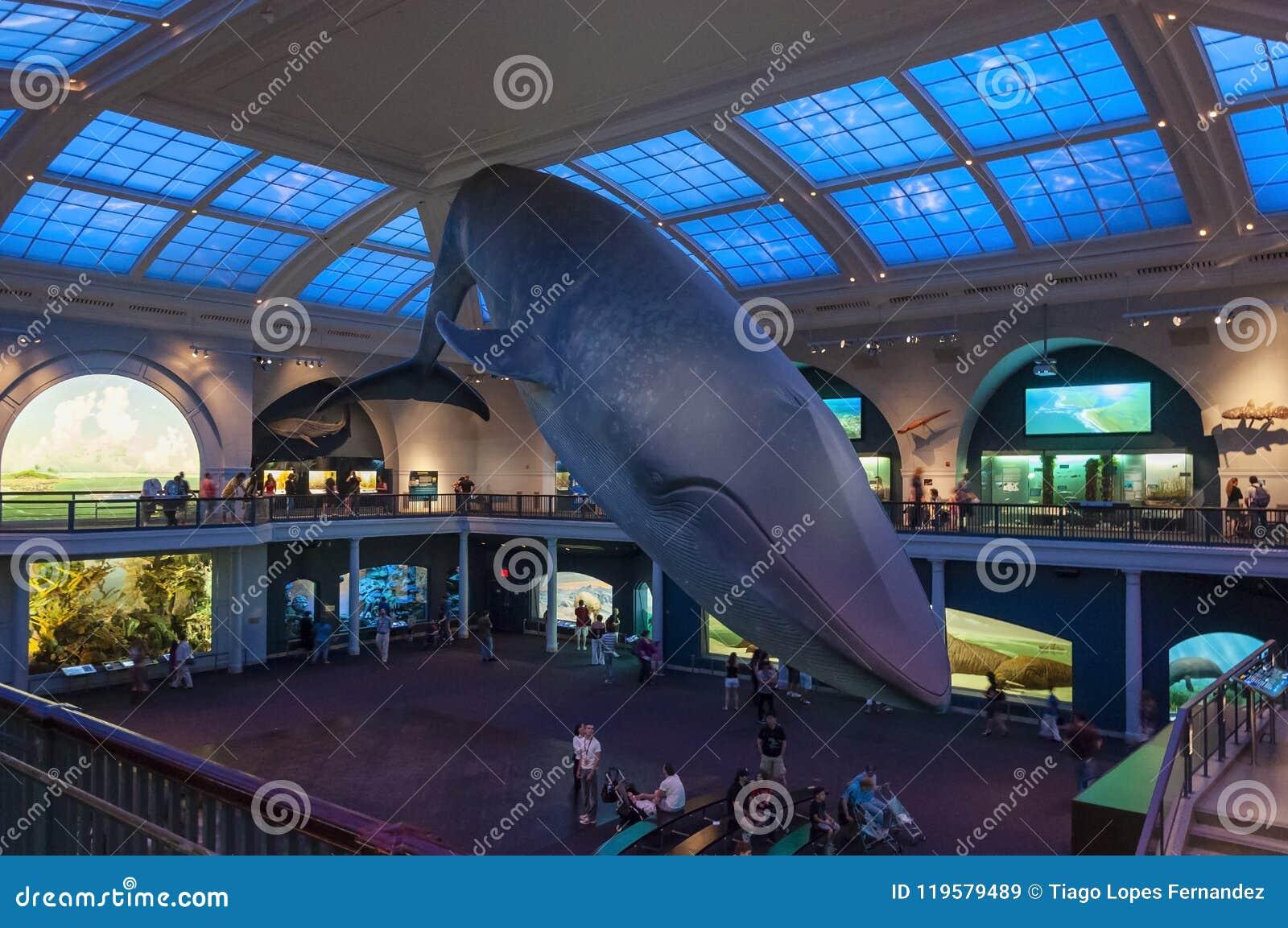 Folk på det amerikanska museet av naturhistoria som ser modellen för blått val, i New York City