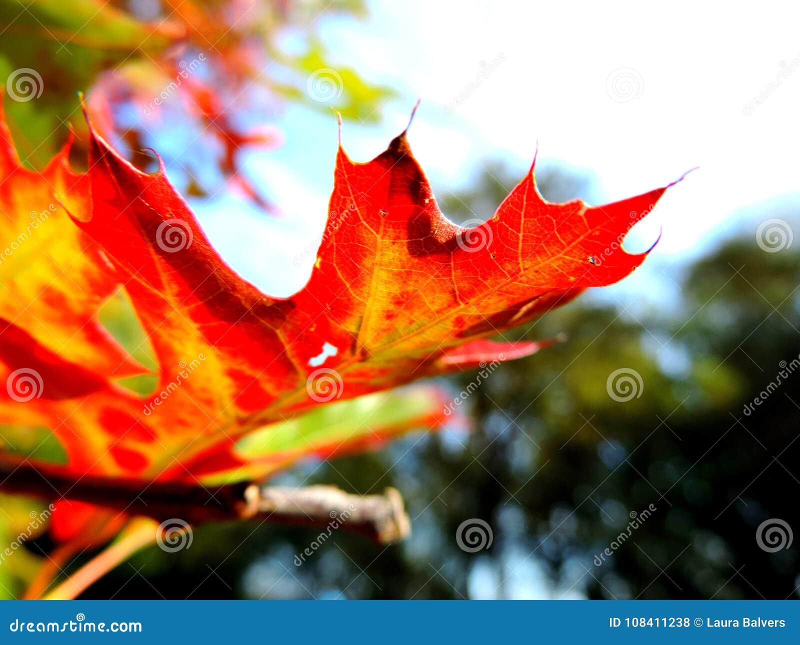 Follaje de otoño, hojas que dan vuelta a rojo