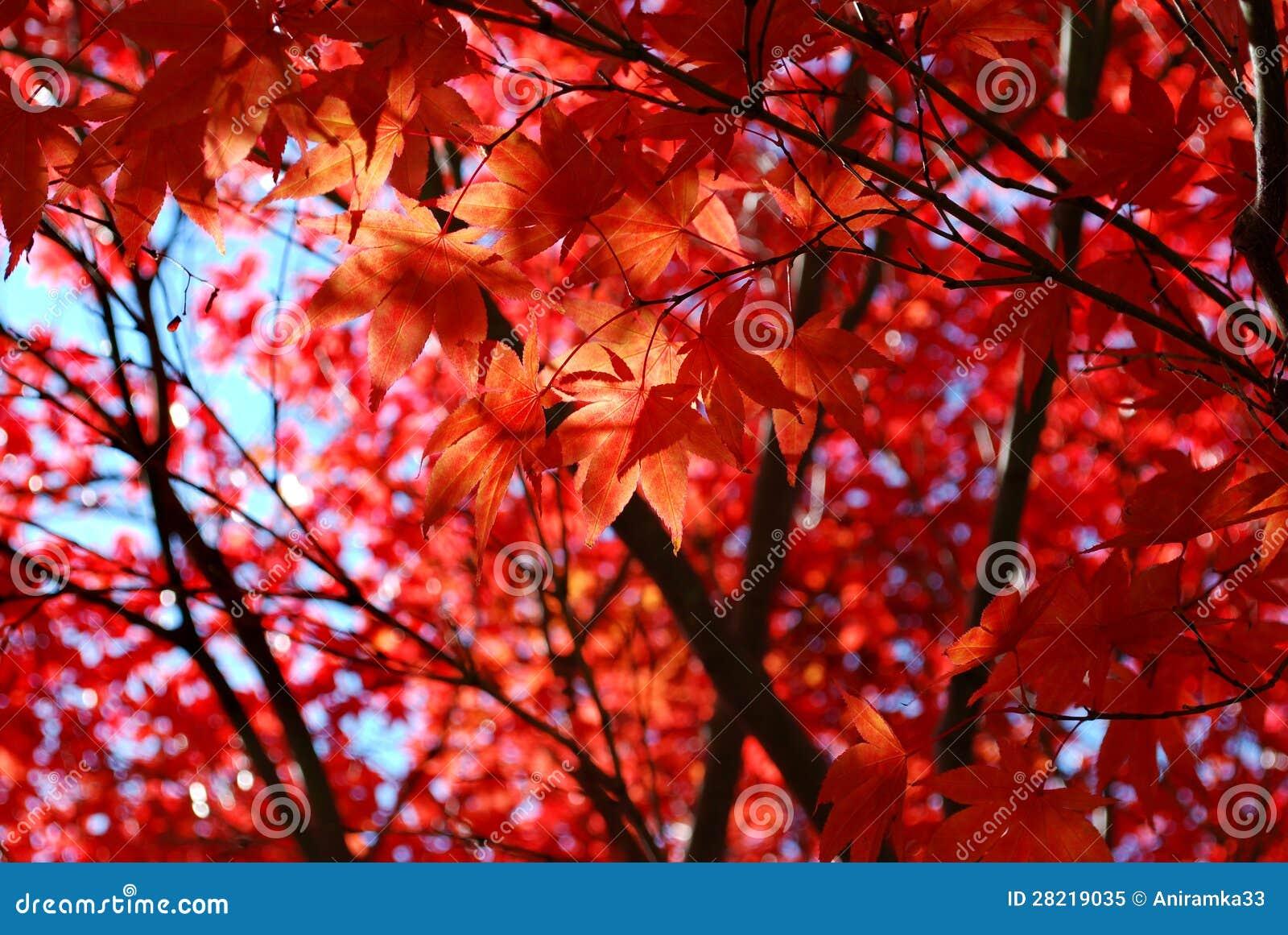 Follaje rojo del arce japonés