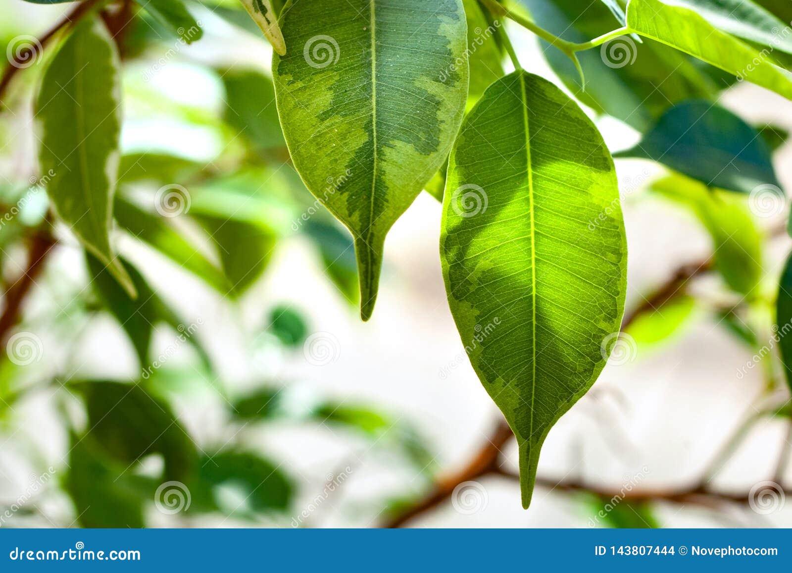Follaje verde del arbusto de los ficus