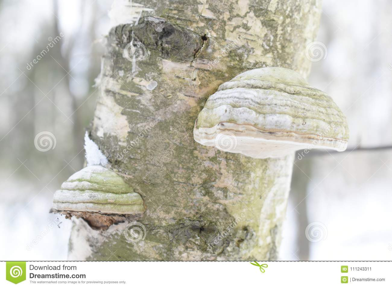 Fomes fomentarius commonly known as the tinder fungus, false tinder fungus, hoof fungus, tinder conk, tinder polypore or ice man