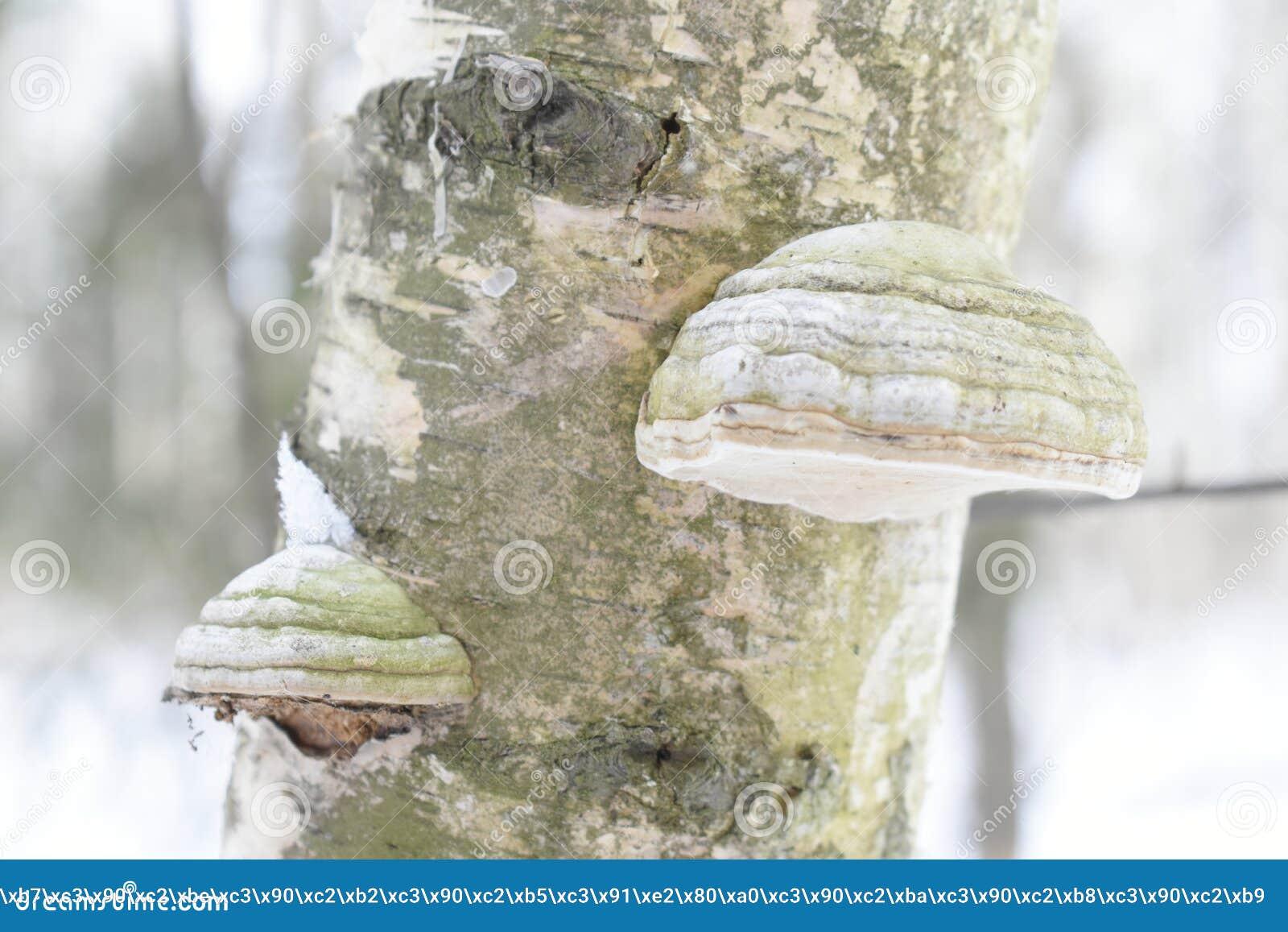 Fomes fomentarius powszechnie znać jako hubka grzyb, fałszywy hubka grzyb, racicowy grzyb, hubki conk, hubki huba lub lodowy mężc