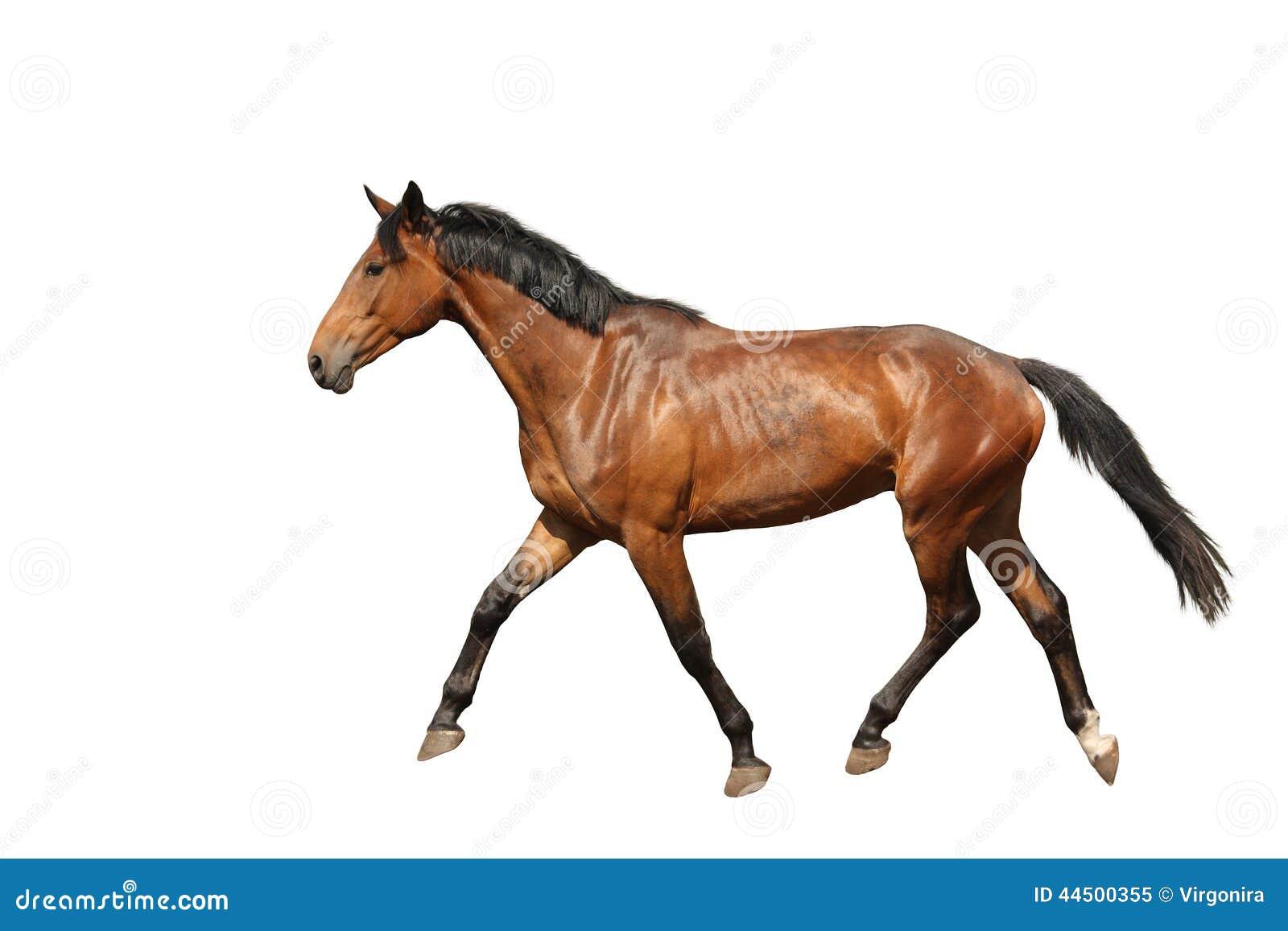 fonctionnement brun de cheval de chtaigne gratuit sur le fond blanc photo libre de droits