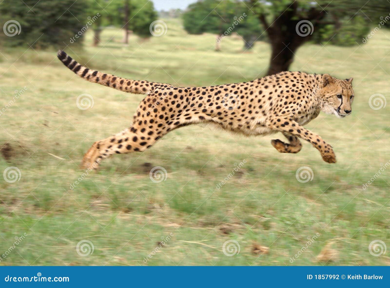 Fonctionnement de guépard