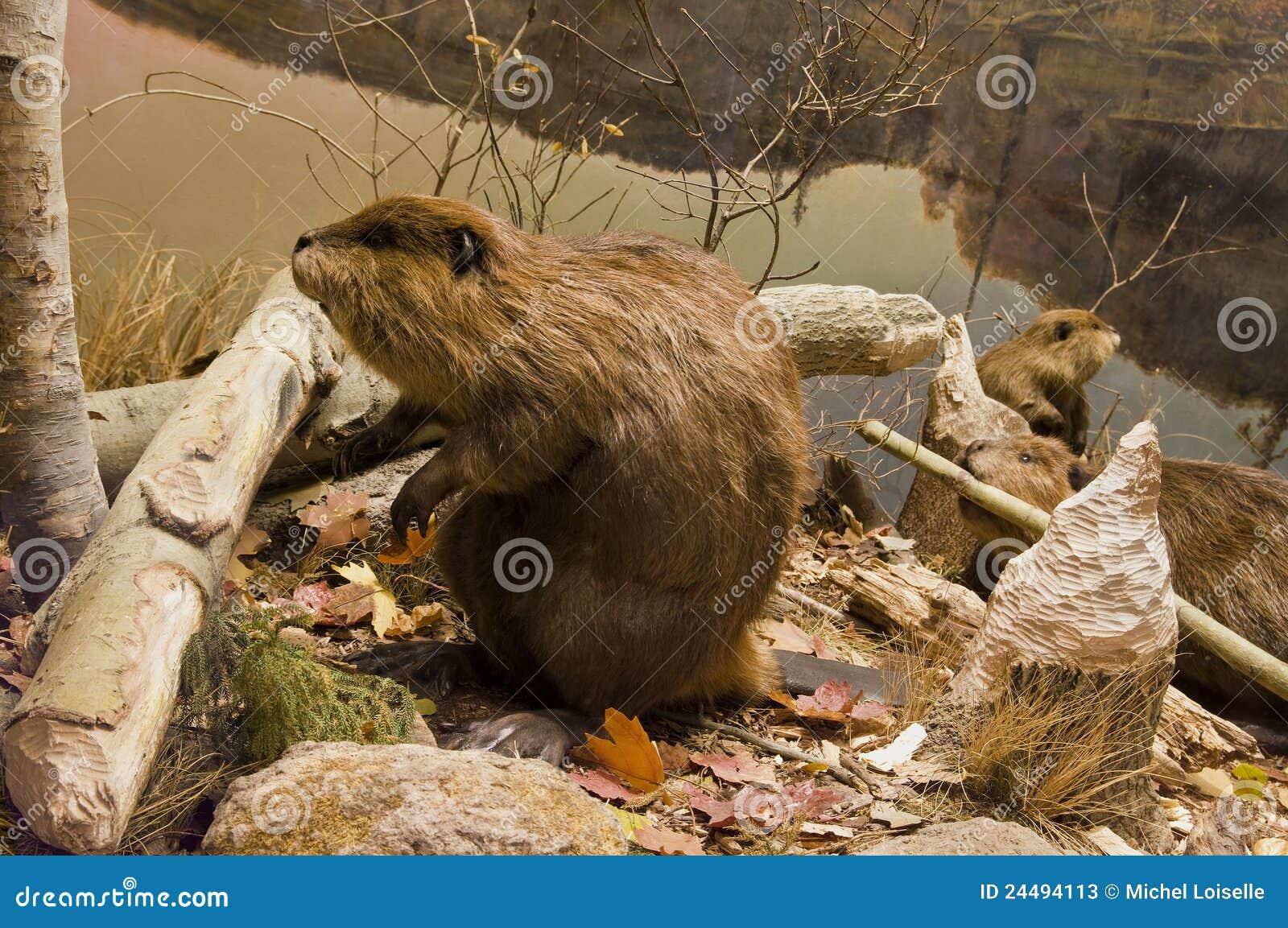 Fonctionner de castors
