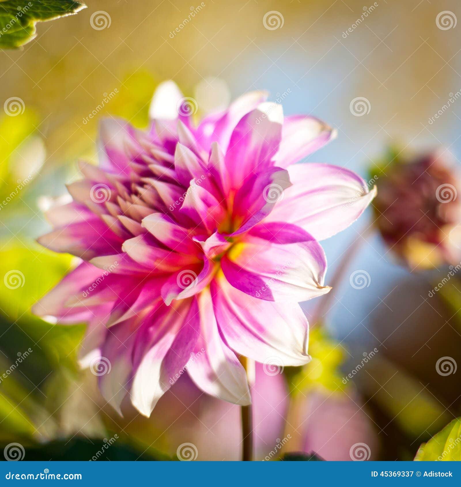 Fond de fleur de dahlia Fleur d automne