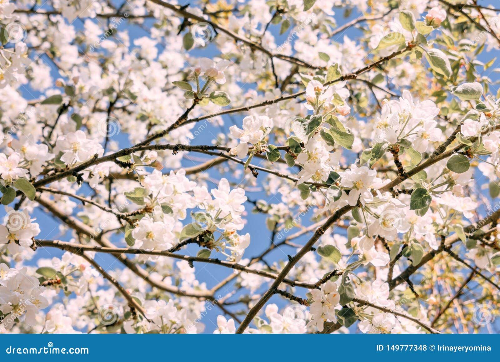 Fond de fleur de source Arbres de fleur de pommier, fleurs blanches et feuilles vertes sur le fond de ciel bleu