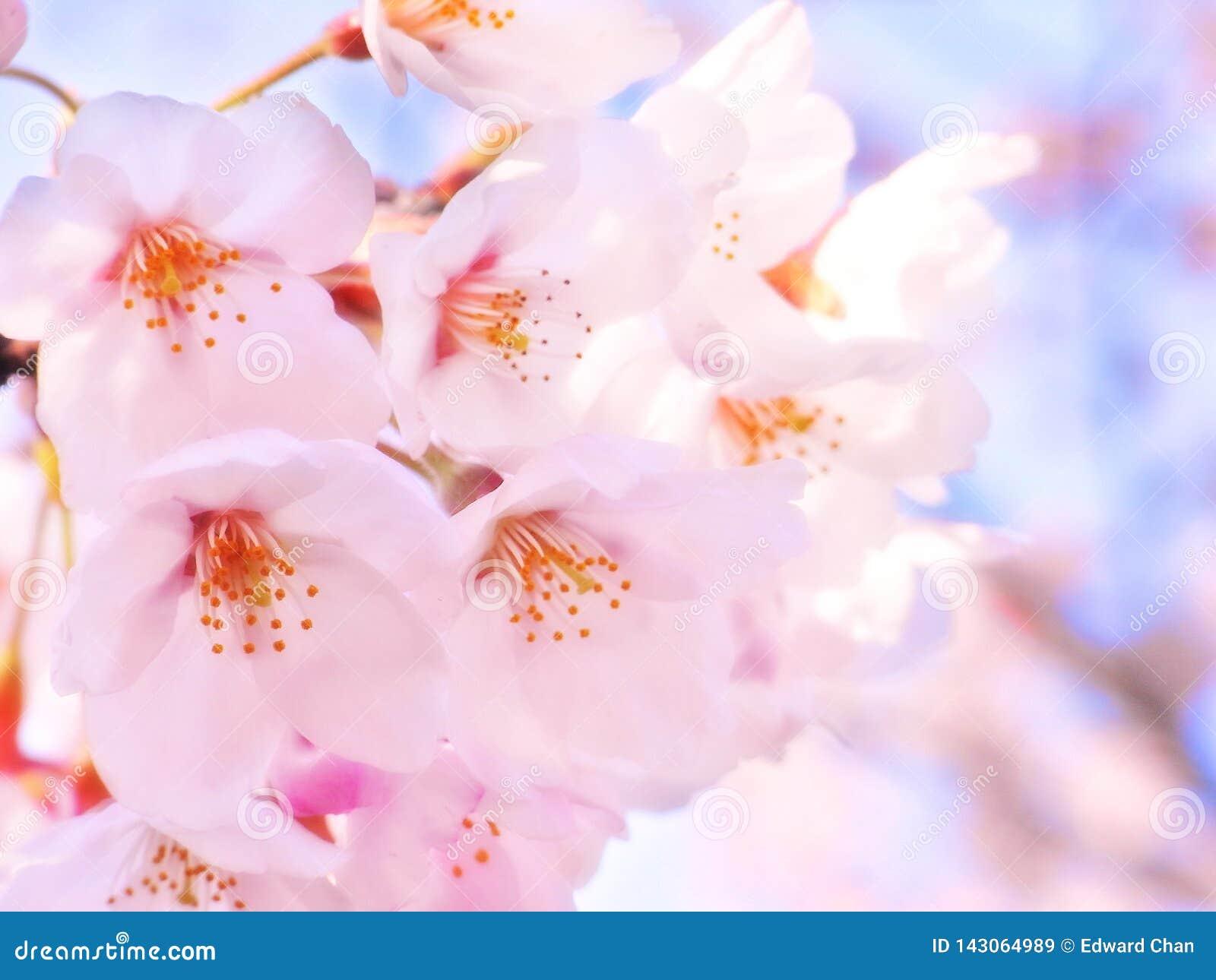 Fond de fleurs de rose de fleurs de cerisier