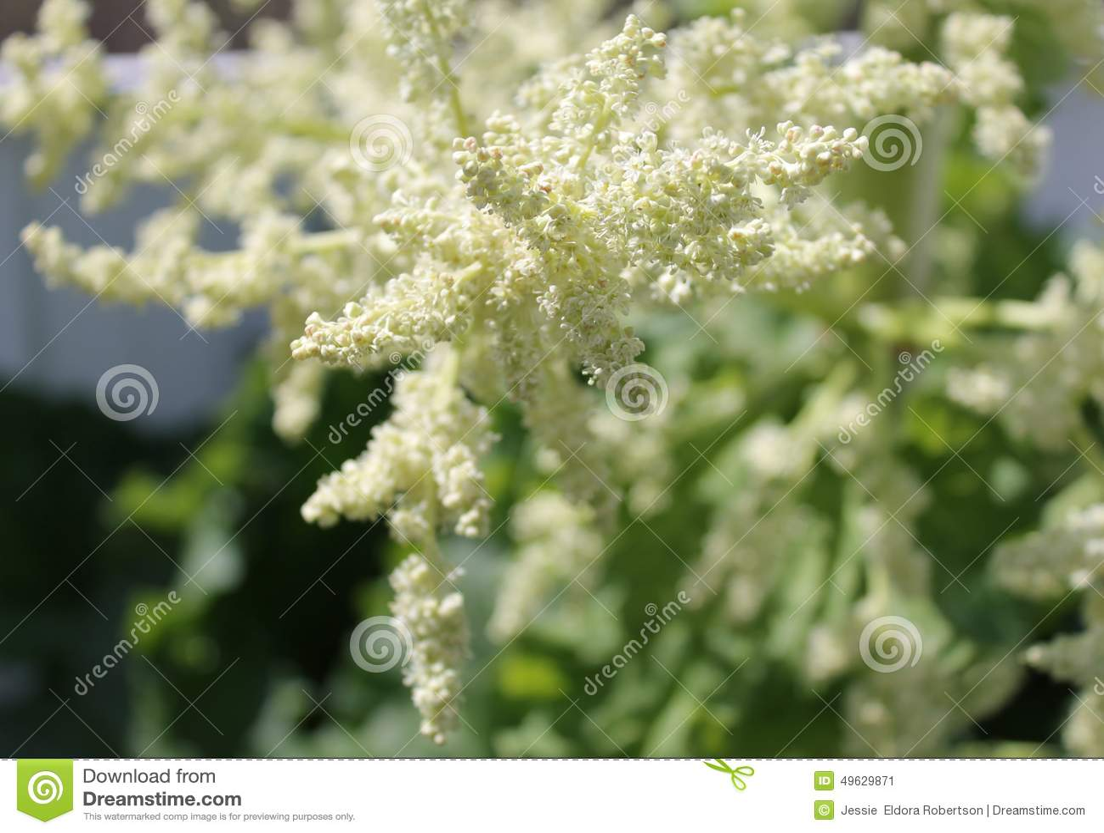 Fond de graine de rhubarbe photo stock image 49629871 - Graine de rhubarbe ...