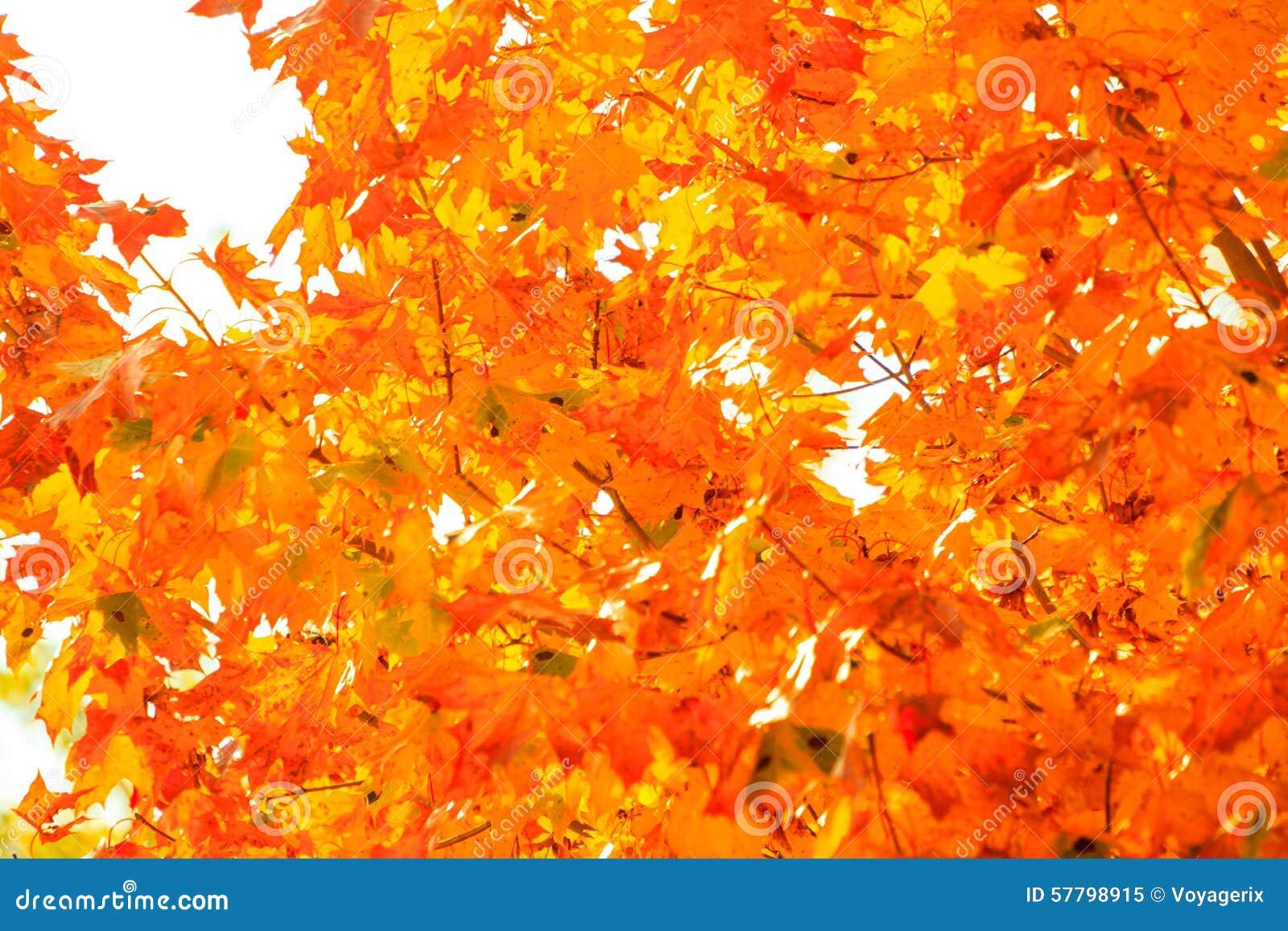 Fond de nature d 39 arbres de chute de feuilles d 39 automne - Image feuille automne ...