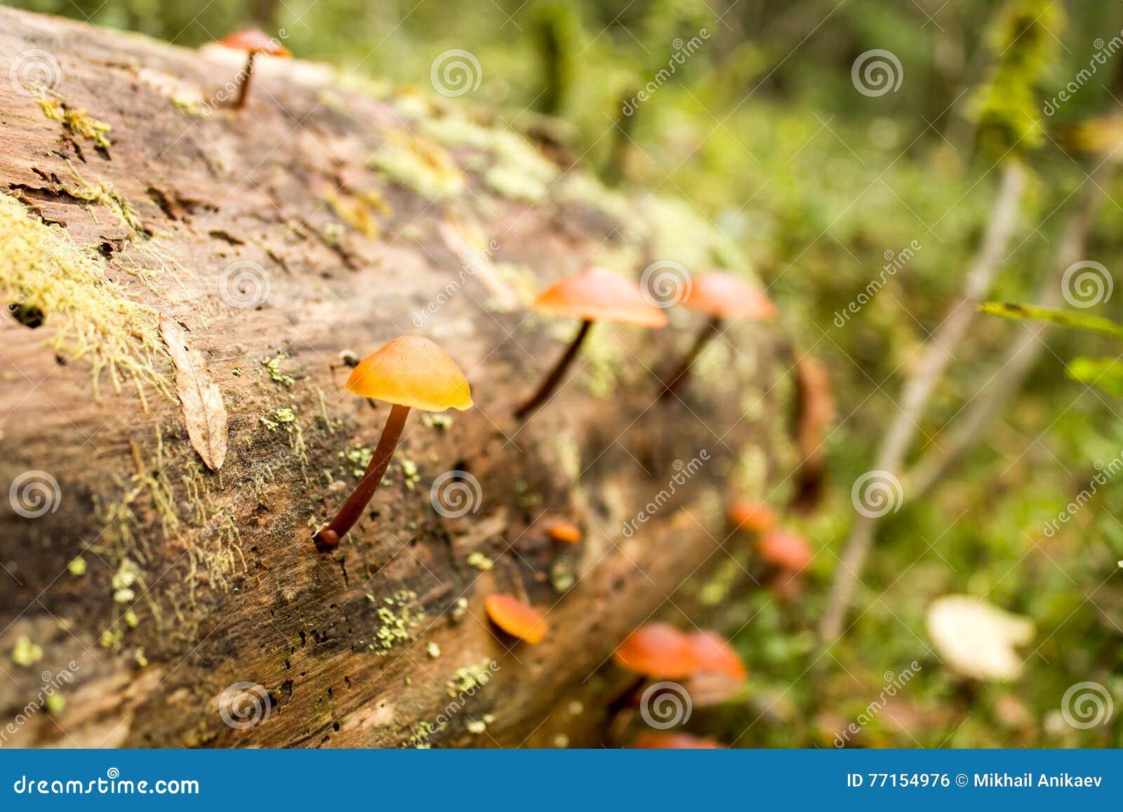 Fond de nature Moss Close Up View avec le petit champignon de champignons développé Macro détails Foyer sélectif