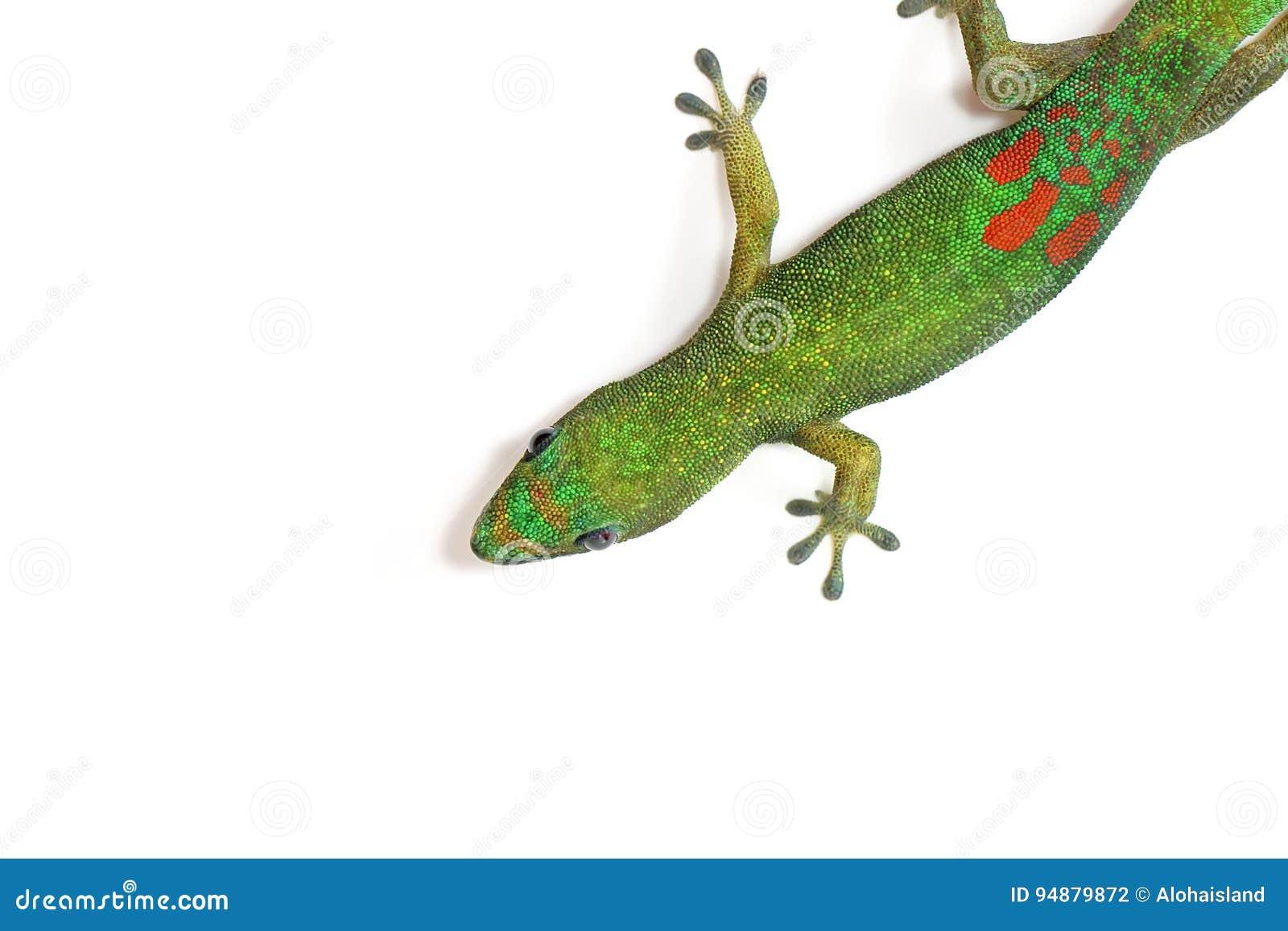 Fond de photo numérique du gecko vert d Hawaï d isolement sur le blanc