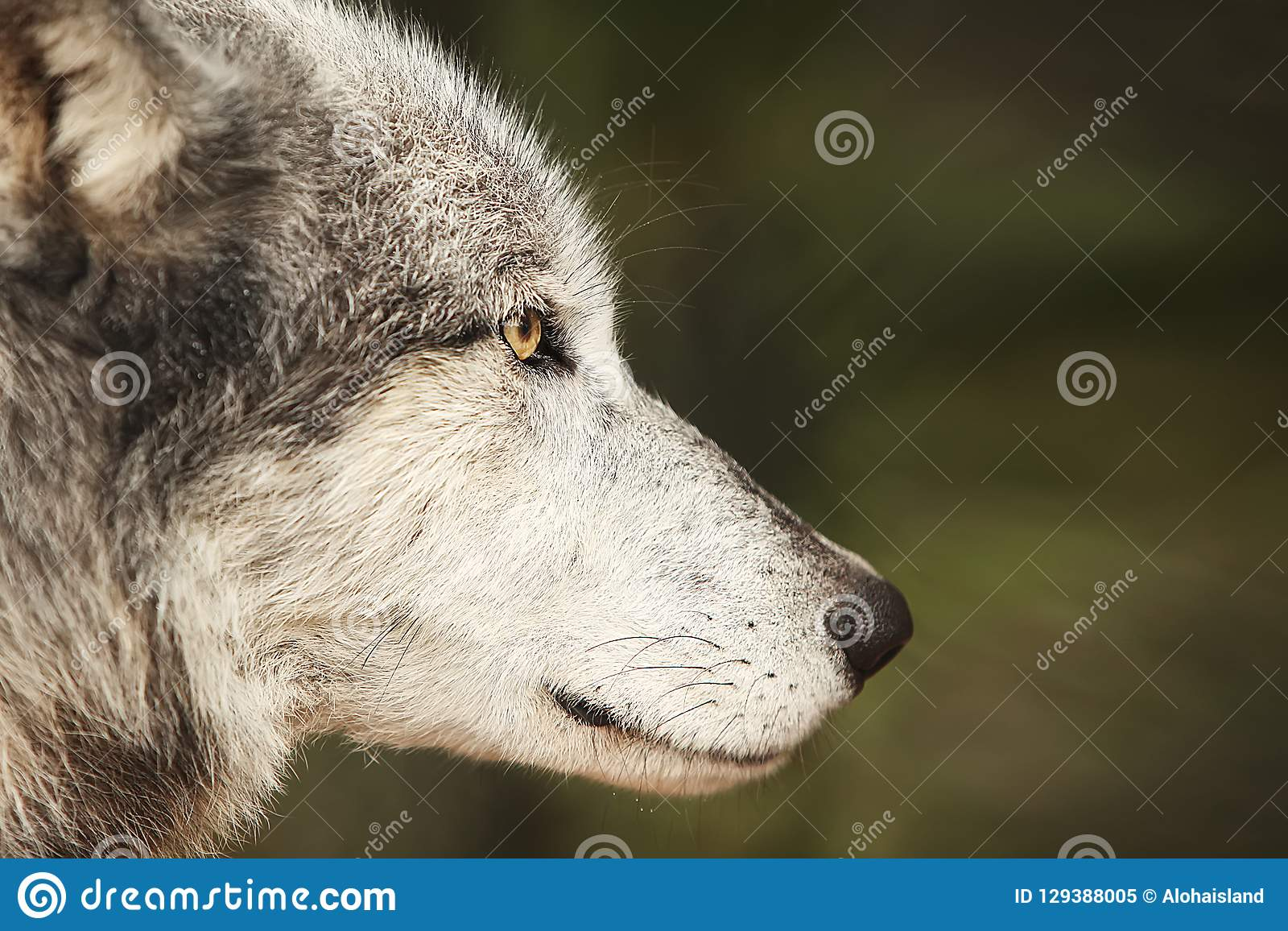 Fond de photo numérique de Grey Wolf Profile