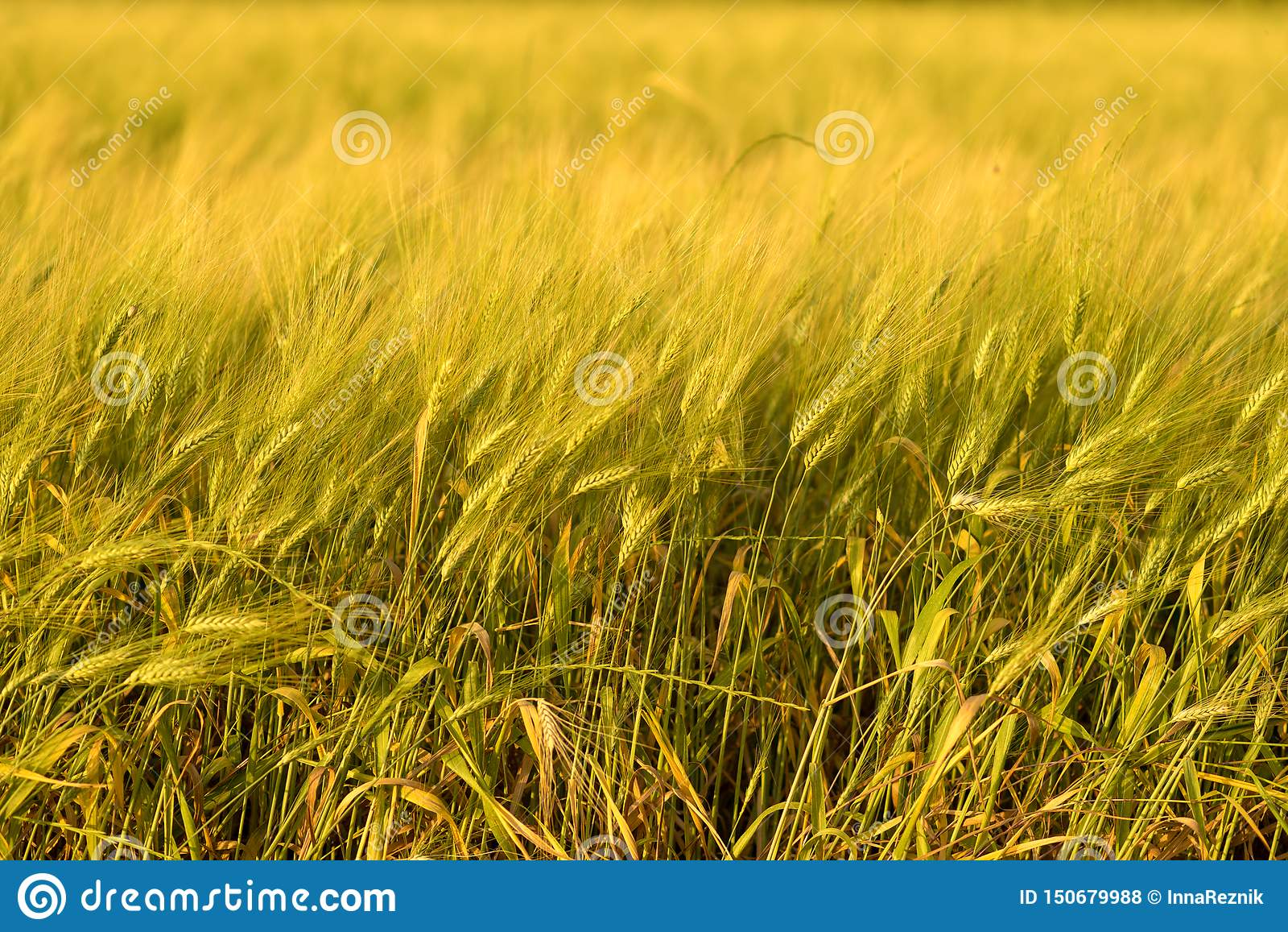 Fond de r?colte de chute d automne Jour ensoleill?, pr? d or jaune de bl?