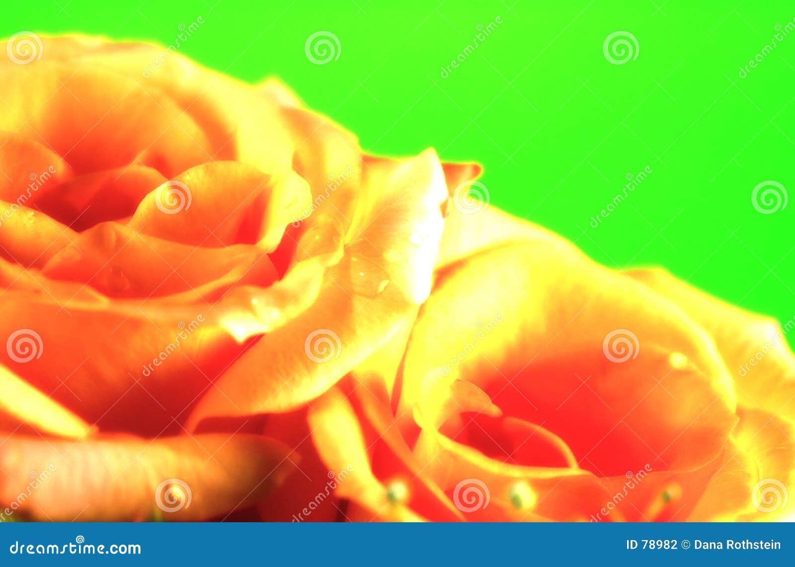 Fond de Rose