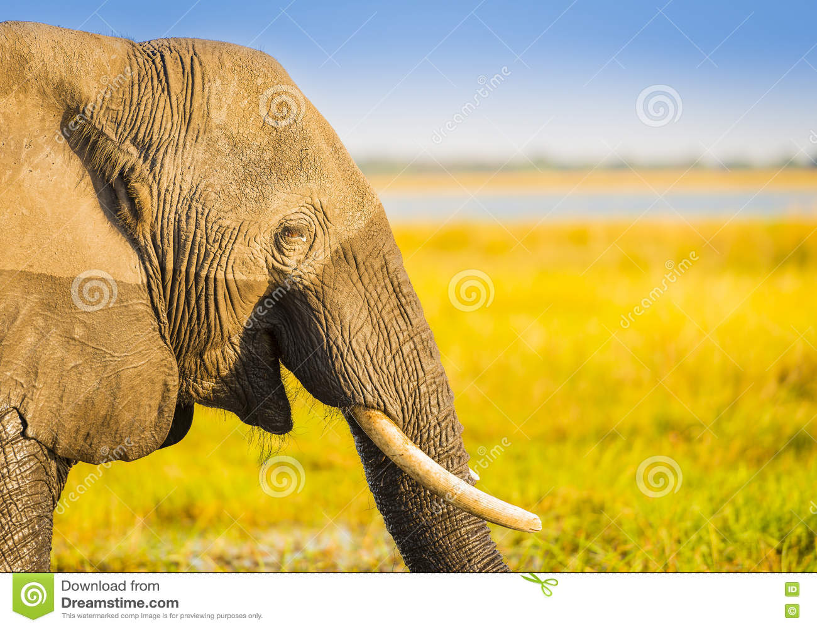 Fond de sourire de l Afrique d éléphant