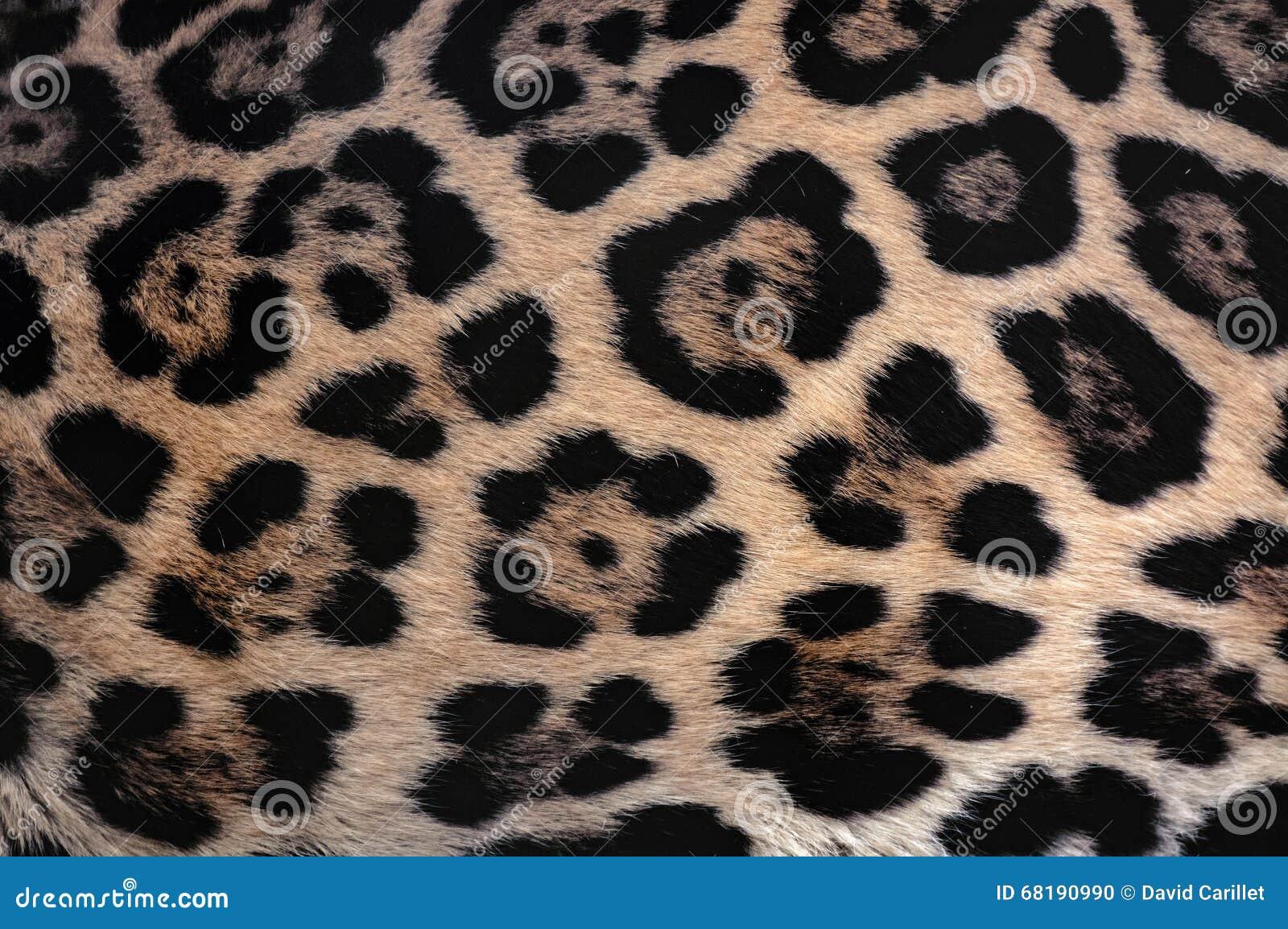 Fond de texture de fourrure de Jaguar avec le beau camouflage repéré