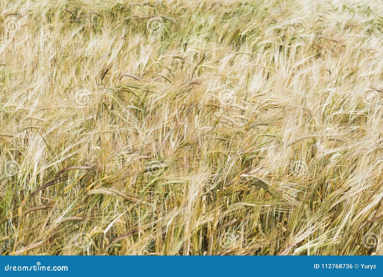 Fond de zone de blé