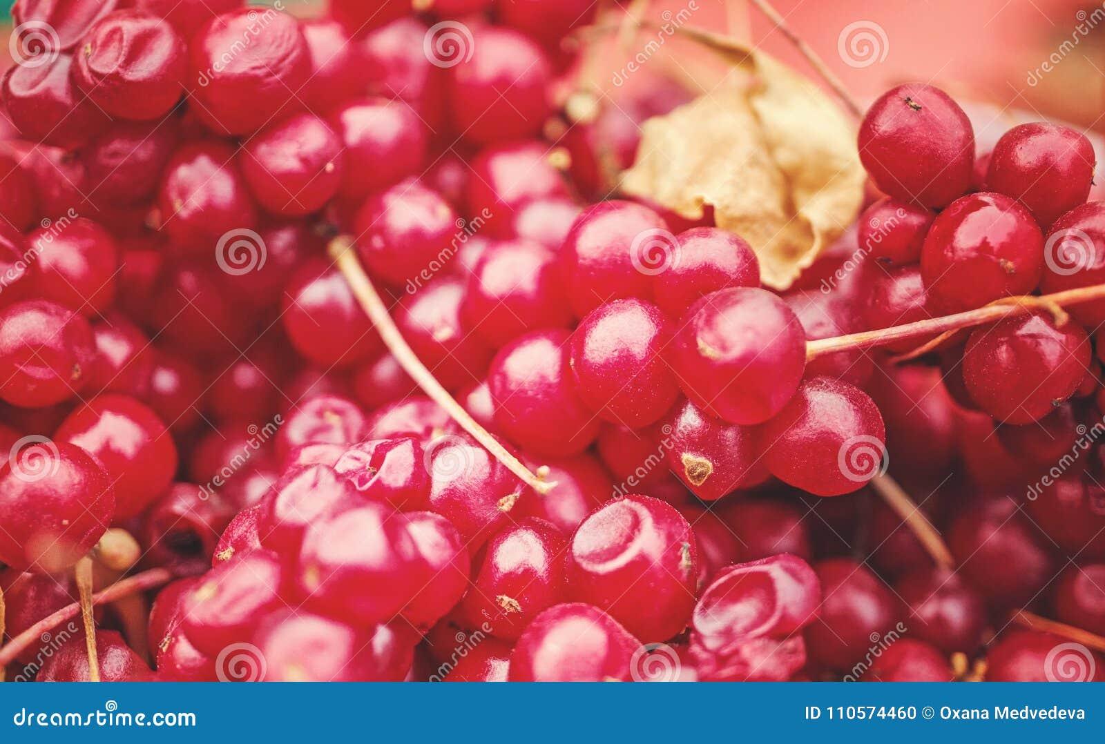 Fond des baies mûres de chinensis chinois de schisandra de schénanthe moissonné des vignes Baies rouges médicinales Foyer sélecti