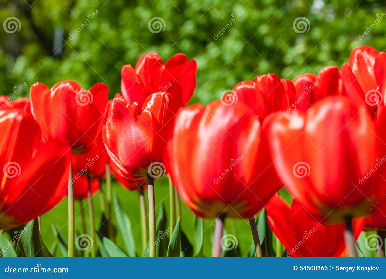 Fond des tulipes rouges