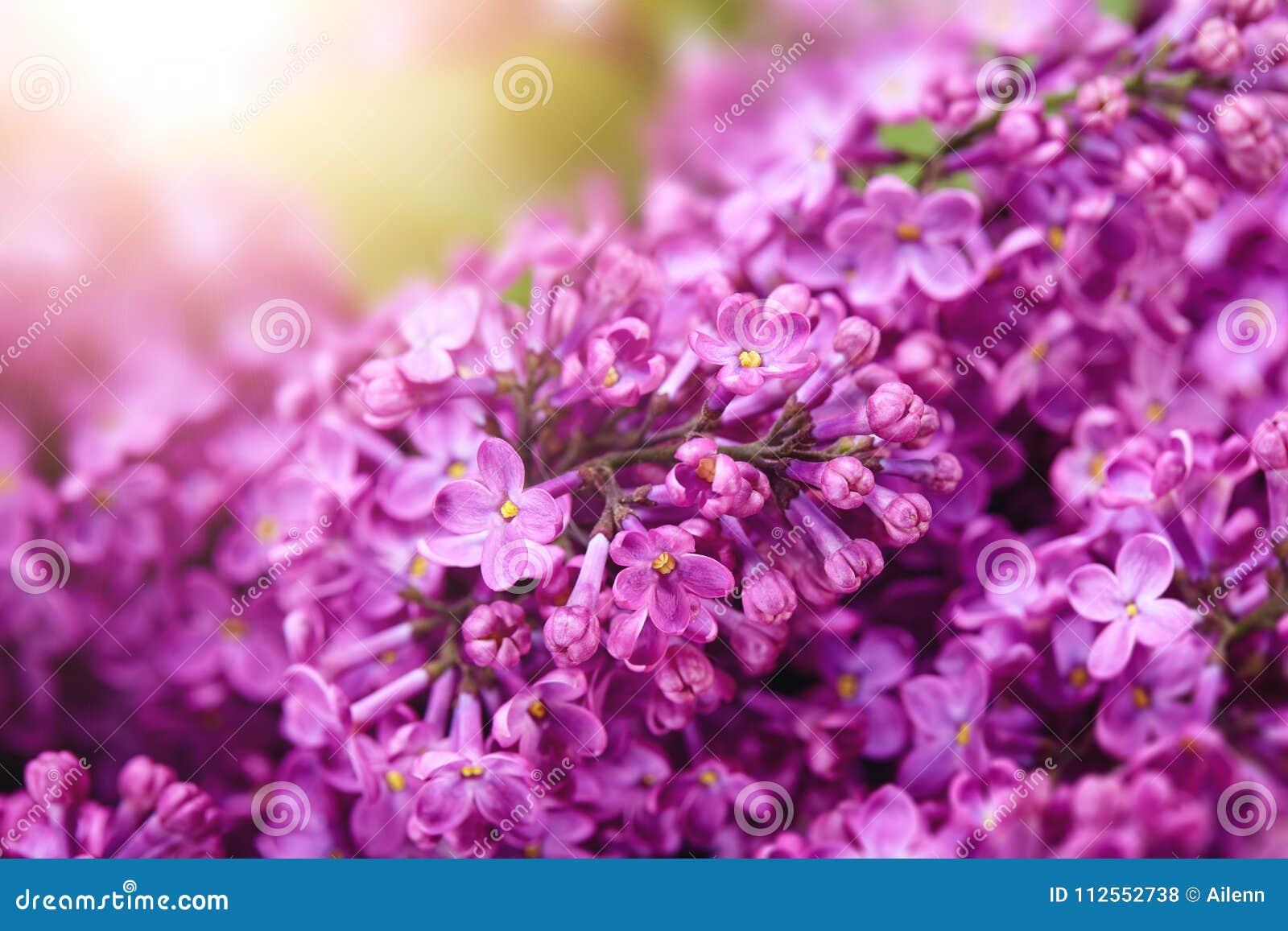 Fond Ensoleille De Ressort De Fleur Lilas Photo Stock Image Du