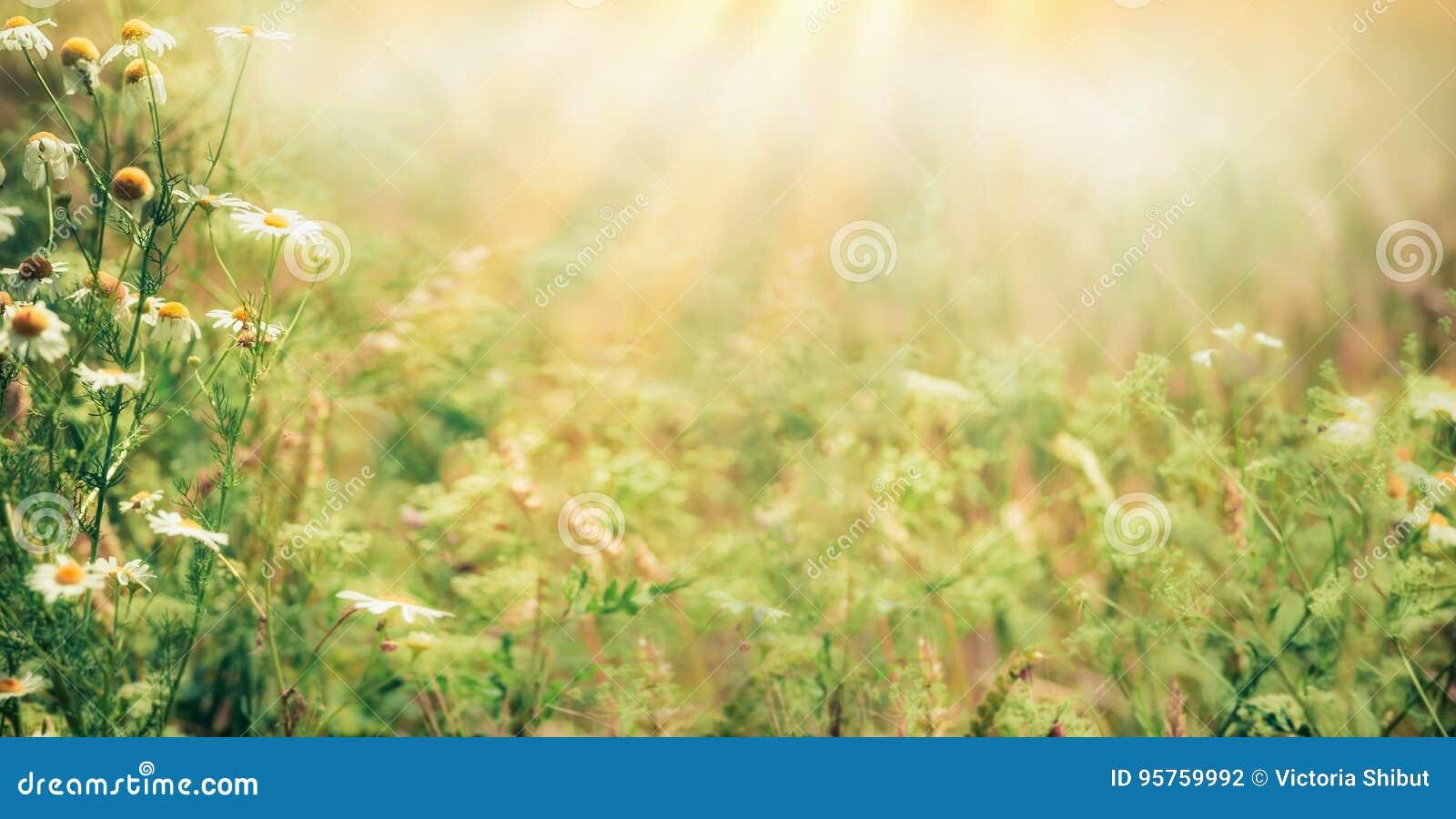 Fond extérieur de nature de belle fin d été avec les herbes et les fleurs sauvages sur le pré avec des rayons de soleil