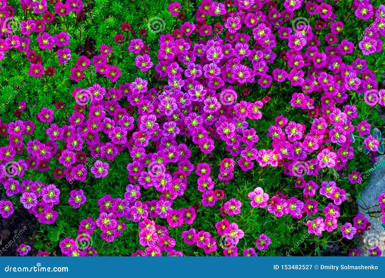 Fond floral des fleurs roses de la saxifrage, floraison de ressort de saxifrage, petites fleurs roses