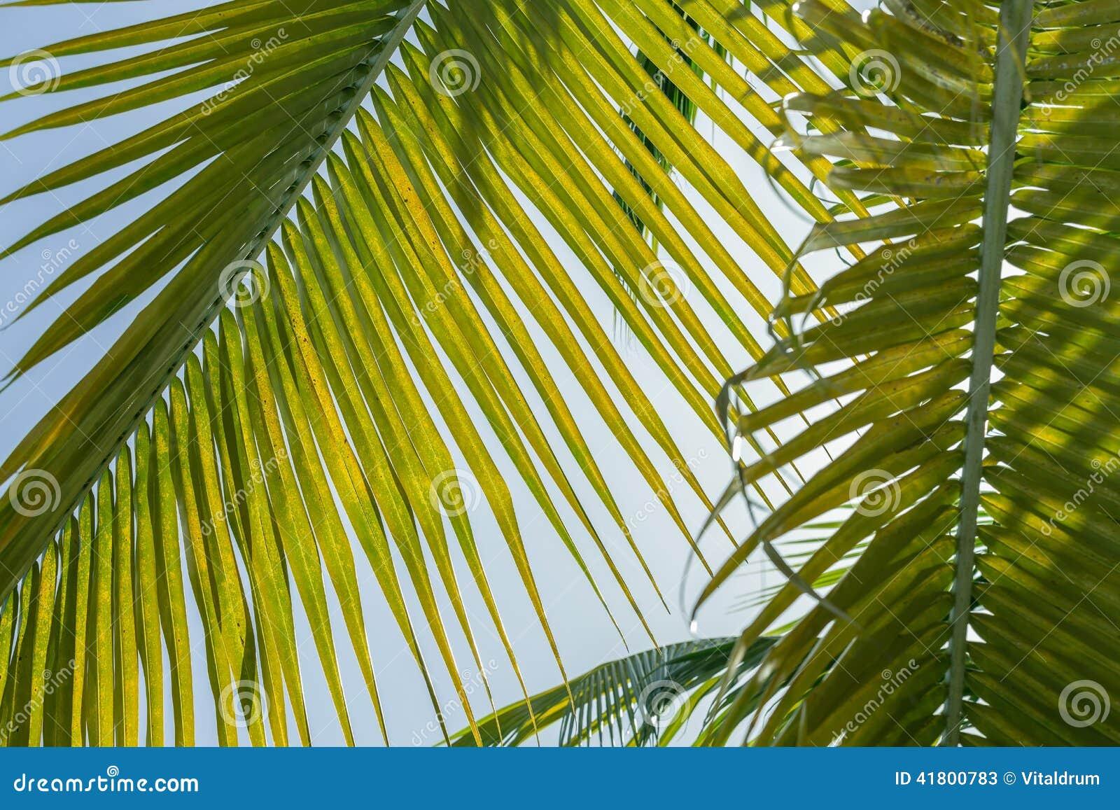 fond frais et en feuille de palmier vert avenant et beau contre le ciel bleu photo stock image. Black Bedroom Furniture Sets. Home Design Ideas