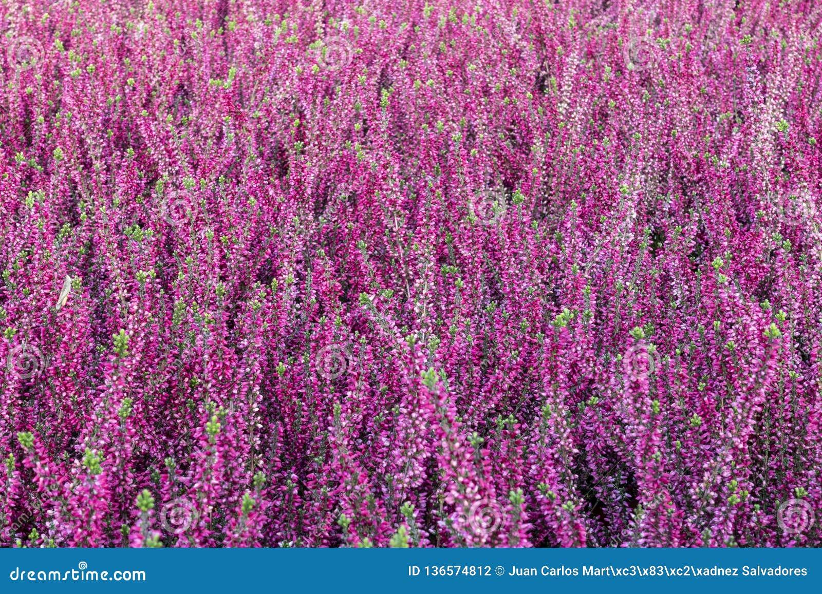 Fond homogène pourpre de calluna vulgaris