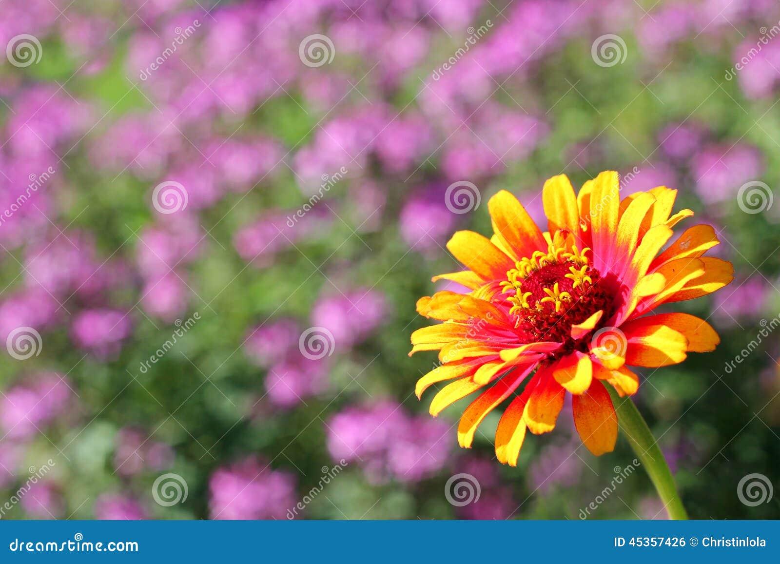 Fond jaune de fleur de Zinnia de flamme