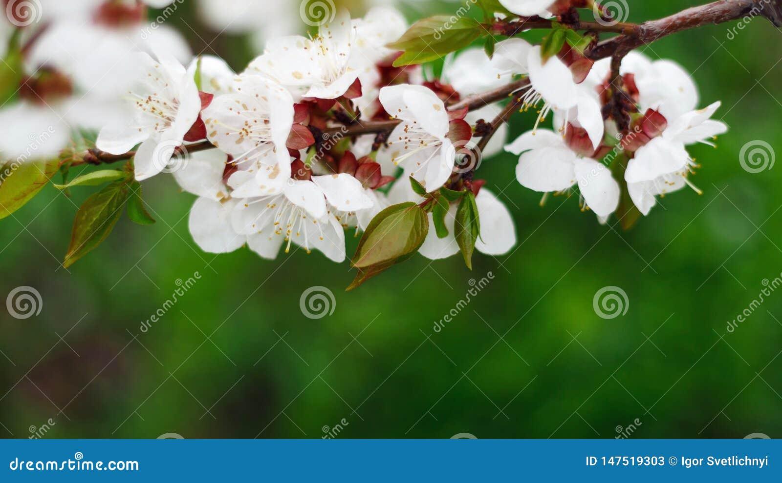 Fond naturel de beau ressort Branches de macro fleurissant d abricot au soleil