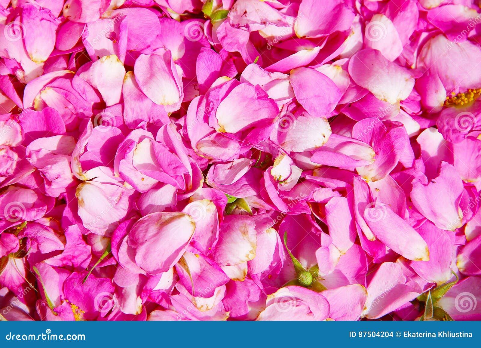 Fond Naturel Petales Roses Lumineux De Fleur Rose Sauvage Photo