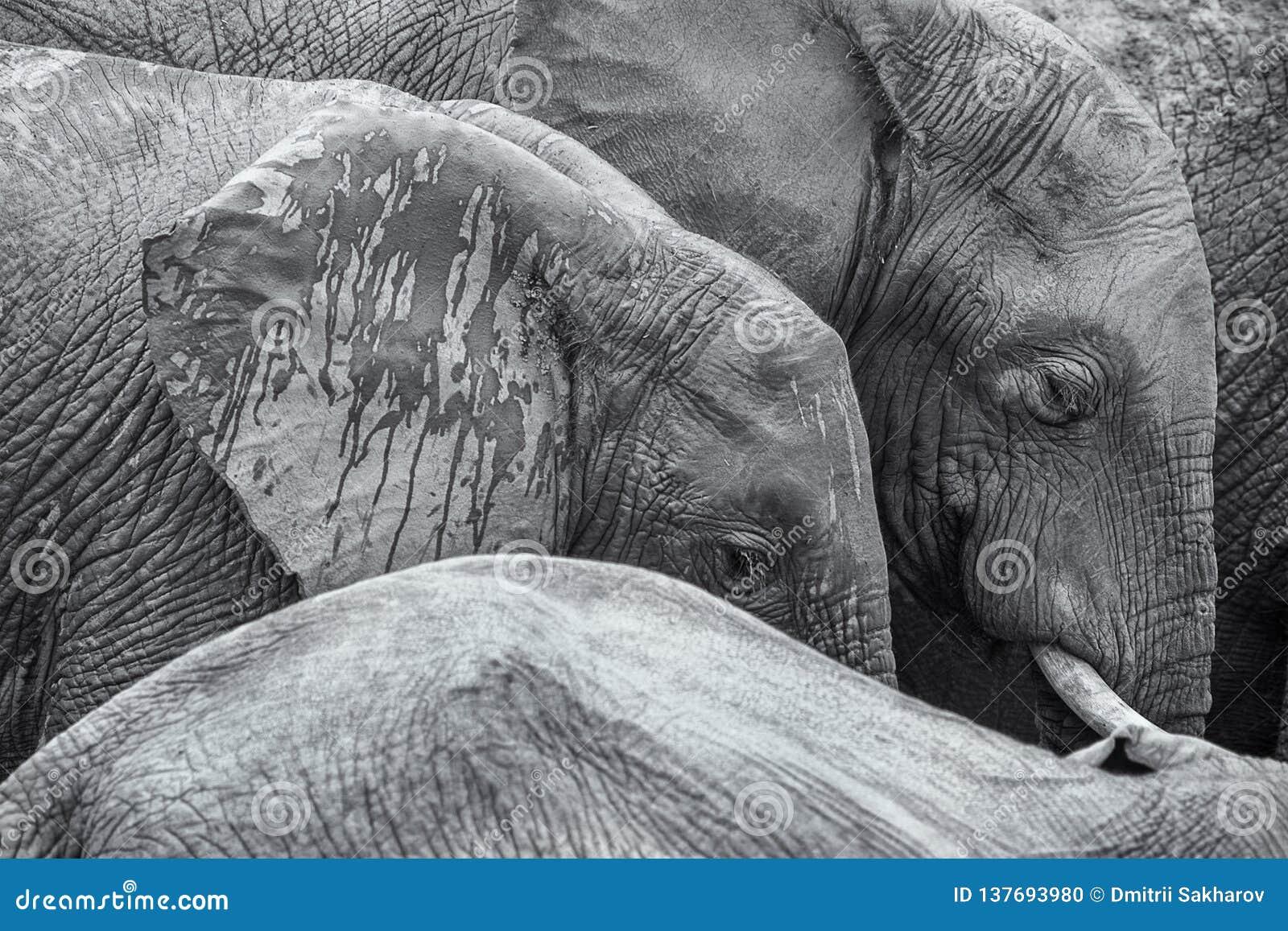 Fond noir et blanc d image de détail d éléphants africains