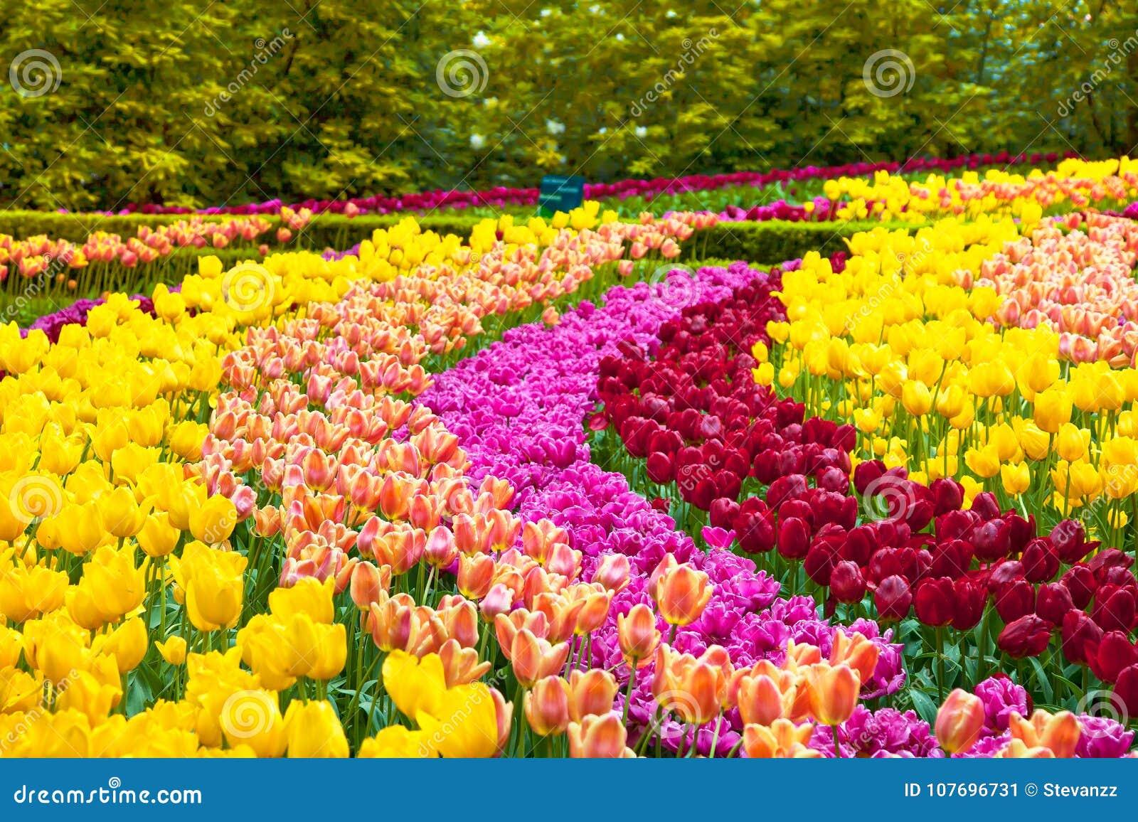 Fond Ou Modèle De Jardin De Fleurs De Tulipe Au Printemps ...